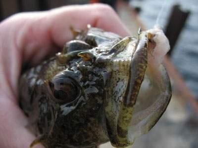 Он мне напоминает рыбу одну.  Бычок называется.  Сообщение от Binabik.