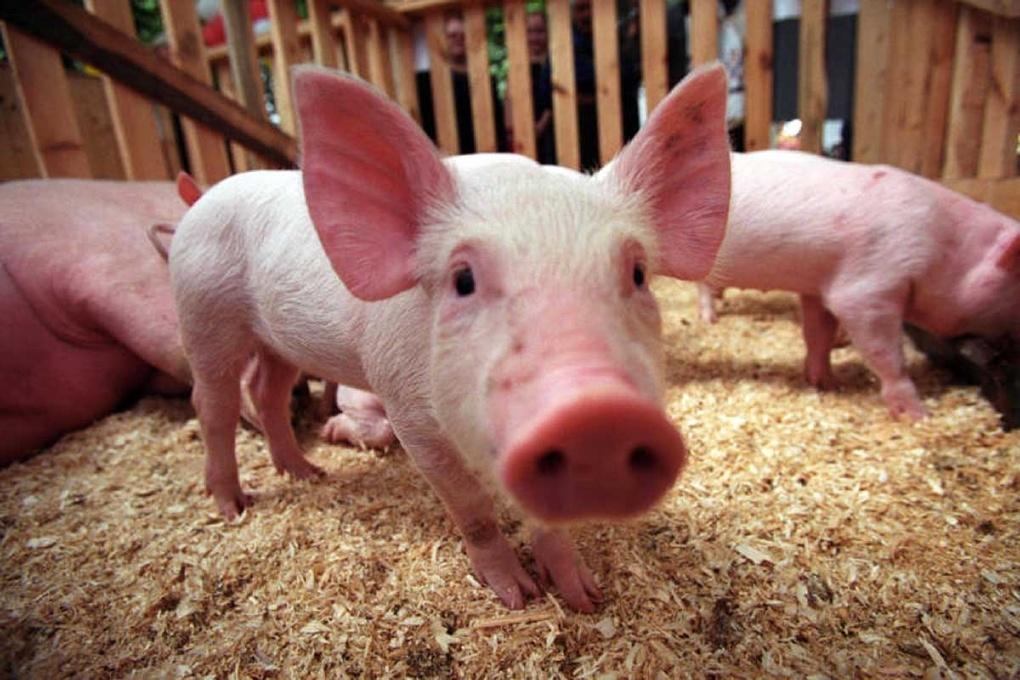 ВКалининградской области зафиксировали новую вспышку африканской чумы свиней